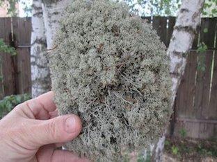 Чем полезен исландский мох (ягель)