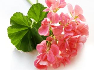 Герань: лечебные свойства и противопоказания