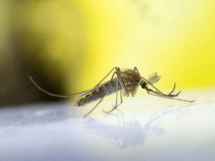Вирус лихорадки Западного Нила