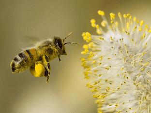 Пыльца пчелиная: как употреблять