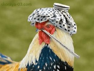 Птичий грипп: что за птица и как от неё лечиться