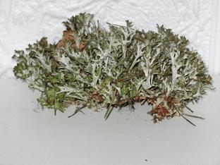 Цетрария (исландский мох): полезные свойства, способы приготовления, препараты