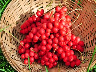 Лимонник (ягода): как использовать и полезные свойства